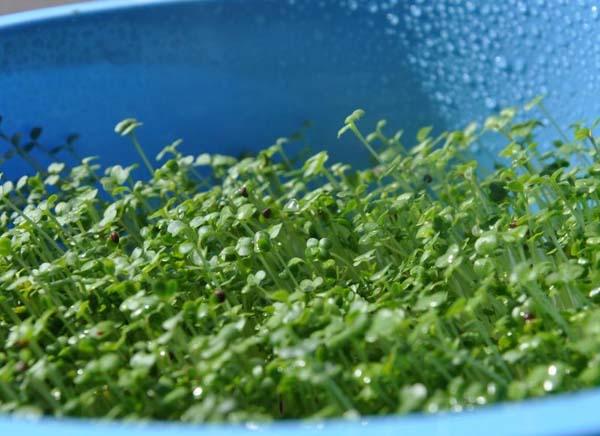 germeni de plante
